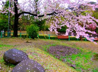 6.さくら通り公園の桜 小.jpg