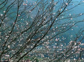 13 熊野神社前の冬桜 小.jpg